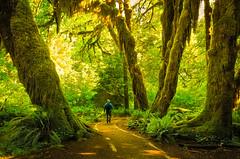 The Magical Hoh Rainforest (Matt Shiffler Photography) Tags: washington state olympicnationalpark washingtonstate hoh hohrainforest magical surreal moss ferns jurassicpark hike hiker morning