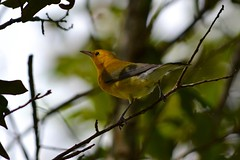 Prothonotary Warbler (bmasdeu) Tags: warbler bird yellow prothonotary migration fig wildlife tropical florida