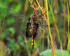 Black Saddlebags Dragonfly (Kanukster) Tags: fantasticnature blacksaddlebagsdragonfly nikond7200 macromondays natura
