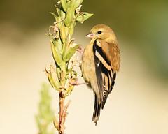 American Goldfinch (malarchie) Tags: americangoldfinch spinustristis libertystatepark jerseycity