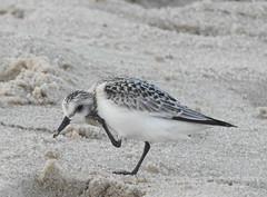 The Itch (Lori Garske) Tags: sandpiper shorebird lorigarske sandyhook nature bird sand