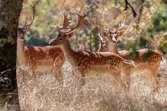 Daims (sfrancois73) Tags: daim mammifre faune