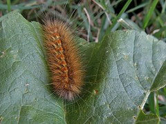 Estigmene acrea (carlos mancilla) Tags: estigmeneacrea insectos orugas caterpillars polillas moths olympussp570uz polillastigre