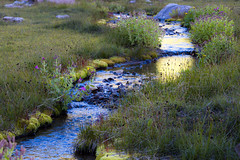 Mountain meadow stream (1riverat) Tags: stream meadow alpine 1riverat matthewreichel goatrocks flowers moss