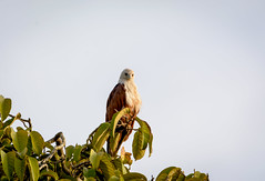 Don't like the paparazzi! (malc1702) Tags: brahminykite kite largebirds indianbirds asianbirds wildlife nature beauty nikond7100 tamron150600 animals closeup perch tree leaves birdsofprey fantasticnature