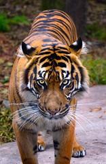 'Samsara' (JEMiguel007) Tags: sigma nikon portrait samsara bigcat tiger ca sf zoo jmp