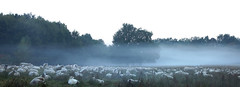 Sheep in the morning (na_photographs) Tags: schafherde herde schafe tiere idylle landwirtschaft tree baum dunst nebel bodennebel natur nature frhnebel