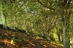 Royd Wood, Holme Valley (myerslaura) Tags: woods woodland forest britain greatbritain yorkshire landscape westyorkshire huddersfield brockholes honley trees arboretum walk walking green summer spring autumn uk weather beautiful magical unreal ethereal sun lowsun sunlight shinethrough unitedkingdon england north northofengland country