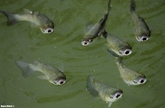 Chelon labrosus (Mauro Hilrio) Tags: fish animal wildlife water river greece chelon labrosus thicklip gray mullet swim hungry