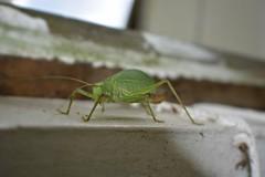 katydid (moonshiner278) Tags: tettigoniidae katydid alabama usa america leafgrasshopper bushcricket longhornedgrasshopper nikon nikon5200