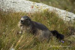 Woodchuck (AndRealfi) Tags: woodchuck marmotta grossglockner