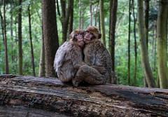 2 mountain monkey hugs (red-illusion) Tags: 2 mountain monkey hugs