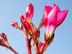 Oleander (Tim Niclas Marvin Mller) Tags: outdoor oleander