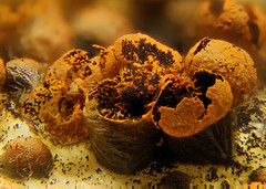 Physarum auriscalpium (Fotografa de Naturaleza de Paco Moreno Gmez) Tags: fotografa naturaleza myxomycetes myxos mixomicetos microscopio imagen apilado