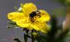 XPR29761 (justpedalhard) Tags: calgary fujixpro2 fujixpro2shots fujifilmxf35mmf2rwr michaellogatoc ©2016 macroextensiontube fujimcex11 beemacro flowermacro