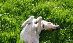 (mick dunne) Tags: ireland sleeping summer irish dog sun grass daisies garden cork dune sunny belly mick paws collar lying mongrel mickdunne
