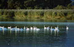 Swans came back (threepinner) Tags: autumn japan canon swan pond hokkaido ae1 iso400 tokina negative  f56  atx hokkaidou bibai northernjapan  miyajimanuma   150500mm