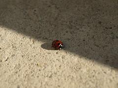 Taijitu(太極図) (UMA_k_) Tags: light shadow ladybug てんとう虫 陰陽 taijitu 太極図