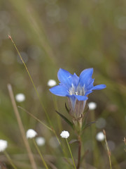 Gentiana scabra var. buergeri f. stenophylla (Polotaro) Tags: flower nature pen olympus   zuiko ep1   gzuiko50mmf14