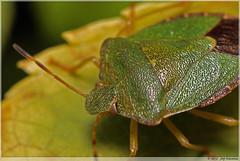 Groene stinkwants, Green shield bug, (Palomena Prasina) (Joop Rensema.) Tags: tamronspaf90mmf28di sony230 elementsorganizer