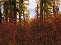 Orange Enclave (Powskichic of Bend) Tags: park autumn trees orange color fall leaves yellow pine centraloregon river october falling aspens ponderosa turning 2012 shevlin tumalo createbeauty powskichicofbend brendareidirwin