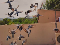 Pigeons Flying. (Photography by Somaan Sohail.) Tags: street city nature birds animals flying wings pigeons flight
