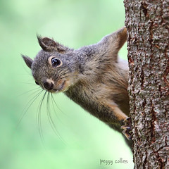 Bright-eyed and bushy-tailed (Peggy Collins) Tags: canada eyes squirrel squirrels britishcolumbia whiskers pacificnorthwest sunshinecoast squirrelontree douglassquirrel brighteyedandbushytailed squirrelcloseup peggycollins