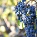 2012 Garden Creek Cabernet Harvest 0007