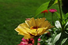 zinnias (SS) Tags: camera pink flowers light red orange flower verde green colors yellow composition photography countryside october focus soft shadows dof close purple pentax bokeh pov perspective gimp framing zinnia fiore lazio k5 blooming