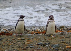 Magellan penguin couple (Germn Vogel) Tags: chile bird beach latinamerica southamerica animal fauna penguin couple pair shoreline shore magellan magallanes otway senootway