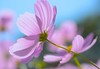 Autumn Breeze:微风 (love_child_kyoto) Tags: autumn kyoto cosmos コスモス masterphotos sexygroup artisticflowers takenwithlove awesomeblossoms mindigtopponalwaysontop マスター写真