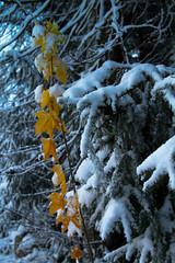 First snow 26.10.2012 (Ingefr) Tags: winter snow wintermorning estland firstsnow2012