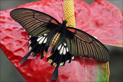 Female Asian Swallowtail (Foto Martien (thanks for over 2.000.000 views)) Tags: holland colour macro netherlands beautiful dutch butterfly insect indonesia big southeastasia colorfull great large nederland grand papillon page borneo tropical noordoostpolder mariposa coloured geotag flevoland swallowtail schmetterling vlinder palawan kleurrijk a77 philippine macrophoto butterflyhouse kleuren groot polychrome geotagging butterflygarden bont schwalbenschwanz tropisch veelkleurig macrofoto kleurig thegalaxy macroopname luttelgeest vlinderhuis asianswallowtail balabac ritterfalter orchideenhoeve vlindervallei zwaluwstaart greatyellowmormon papiliolowi aziatischezwaluwstaart martienuiterweerd martienarnhem mygearandme mygearandmepremium minoltamacro100mm28mm mygearandmebronze mygearandmesilver mygearandmegold mygearandmeplatinum mygearandmediamond fotomartien overdektevlindertuin sonyslta77v sonyalpha77 geotaggedwithgps rememberthatmomentlevel1 aziatischepage