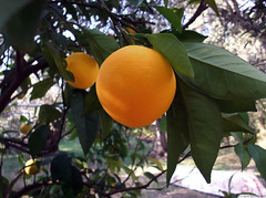 Orange tree (Geo.M) Tags: city copyright orange tree green nature leaves fruit george backyard  poli pelion bolos giorgos nomos volos pilio kalamos  thessaly   thessalia   magnesia argalasti    magnisias           miliokas