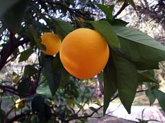 Orange tree (Geo.M) Tags: city copyright orange tree green nature leaves fruit george backyard  poli pelion bolos giorgos nomos volos pilio kalamos  thessaly   thessalia   magnesia argalasti    magnisias           miliokas