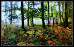 Forest of Dean (Mrs P's Photo Show Thanks for visiting & Comments) Tags: autumn forest woods colours dean ferns