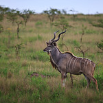Kudu of Tala Private Game Reserve