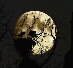 Under a Blood Moon (Vide Cor Meum Images) Tags: red moon tree halloween birds blood fuji spooky fujifilm ghosts crow crows sillhouette hs20 markcoleman hs20exr mac010665yahoocouk