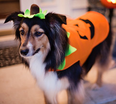 (jljjld) Tags: pet holiday halloween australiansheperd dogincostume
