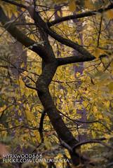 Wunjo  (Myrkwood666) Tags: wood tree forest symbol boom wynn bos wald baum wunjo pagan rune futhark asatru seelenwinter mrkskygge myrkwood666 winjo wulthuz