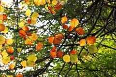 the last of the autumn walks... (ggcphoto) Tags: autumn trees ireland leaves horizontal autumnleaves lookingup autumncolors tipperary autumnwalk sonyalpha gettyimagesirelandq12012