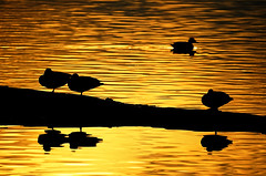 Reflections at Sunset (TOTORORO.RORO) Tags: park sunset canada reflection bird nature water silhouette vancouver lens lights mirror golden reflex pond bc britishcolumbia ripple sony wave delta mount adapter translucent mallard marsh alpha 500mm f8 ladner anasplatyrhynchos wetland nationalgeographic reifelmigratorybirdsanctuary nex greatervancouver mirrorless sal500f80 nex6 laea2
