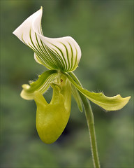 Lady's Slipper Orchid (Foto Martien) Tags: india orchid flower holland colour macro netherlands dutch indonesia thailand cambodia southeastasia colorfull burma sony nederland malaysia tropical bloom paph noordoostpolder orchidee coloured fareast flevoland paphiopedilum southchina kleurrijk bloem a77 macrophoto kleuren bont tropisch veelkleurig macrofoto kleurig ladyslipperorchid thegalaxy macroopname luttelgeest sabotdevnus philippenes orchideenhoeve sabotdelavierge frauenschuhe sonydt18250mmf3563 zapatilladedama venusschoen martienuiterweerd martienarnhem mygearandme mygearandmepremium mygearandmebronze mygearandmesilver mygearandmegold mygearandmeplatinum mygearandmediamond fotomartien soulierdenotredame sandaliadevenus venusschuhe vrouwenschoen sonyslta77v sonyalpha77