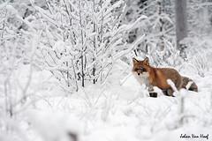 Red Fox in the snow (johan_van_hoof) Tags: winter birds nikon sweden wildlife birding boreal taiga wildlifephotography nikon30028vr nikond700 nikond3 nikond300 nikon500vr connylundstrom johanvanhoof forestnaturenatuur