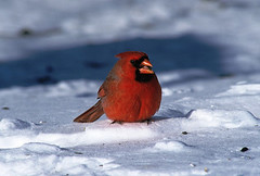 Male cardinal in winter (Dan Small Outdoors) Tags: winterwildlife wisconsindnr winterfeeding dansmall outdoorsradio wildlifefeeding jeffpritzl