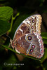 Butterflies are at RHS Wisley again (Nigel Dell) Tags: winter wildlife butterflies places wisley ngdphotos