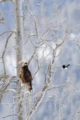 The Golden and the Magpie - a love/hate story (Deby Dixon) Tags: bird tourism nature birds nationalpark travels wildlife yellowstonenationalpark yellowstone wyoming magpie avian confluence goldeneagle cottonwoodtree wildlifeviewing lamarriver debydixonphotography