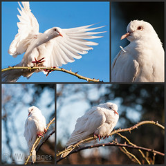 First Visit By A White Dove (mwbergeron01) Tags: bird collage mosaic dove whitedove 14xteleconvertor 70200mmf28lens