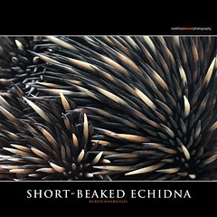 SHORT-BEAKED ECHIDNA (Matthias Besant) Tags: wild nature animal animals closeup fauna mammal zoo tiere wildlife natur australian australia prick australien closeups mammals prickly mammalia nahaufnahme tier anteater echidna pricks stachelig mammalian igel stachel anteaters sugetier stacheln ameisenigel australische nahaufnahmen wildtiere sugetiere saeugetiere wildtier mammalians schnabeligel wirbeltiere australisch stachelige landwirbeltiere landwirbeltier stacheliger wirbeltier stacheliges matthiasbesantphotography