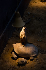 Q: how many turtles does it take to change a light bulb? A: one (MBoom) Tags: zoo meerkat rotterdam blijdorp turtle